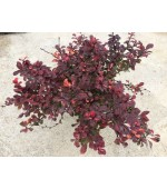 BERBERIS TH. ATROPURPUREA NANA
